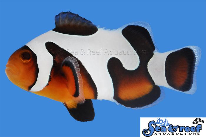 s&r_mochavinci_clownfish_gradea3.jpg
